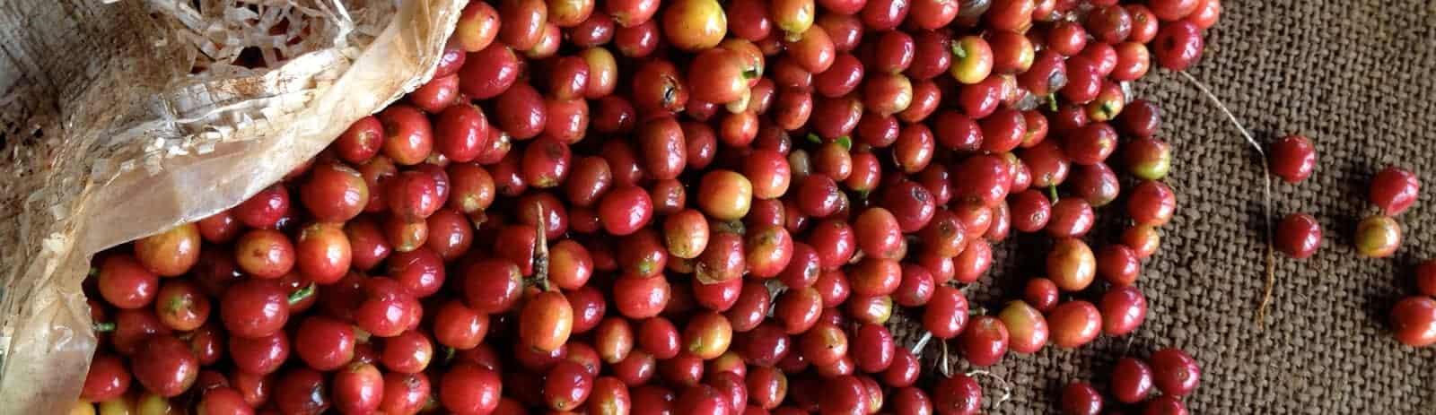 Coffee Bean Cherries