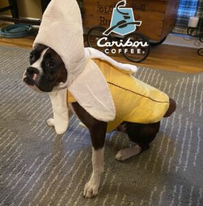 Disappointed Puppy in banana costume